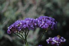 Ceanothus e abelha Foto de Stock
