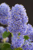 Ceanothus Royalty Free Stock Images