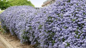 Ceanothus shrubs forming a complete hedge Stock Images