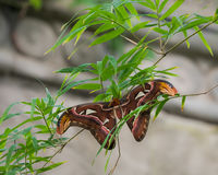 Ceanothus silkmoth σε ένα δέντρο Στοκ εικόνες με δικαίωμα ελεύθερης χρήσης
