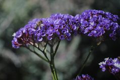 Ceanothus. Some Ceanothus flowers in the Royal Botanic Garden Melbourne, Australia stock photography