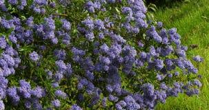 Ceanothus, ceanothus SP , in bloei in een tuin, de lente, Normandië in Frankrijk, langzame motie stock footage