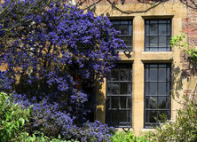 Ceanothus and Stone window. Of old cottage taken in UK Stock Photos