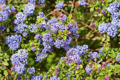 Ceanothus thyrsiflorus in flower with buds Stock Image