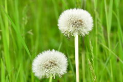 cease blossoming dandelions Royalty Free Stock Image