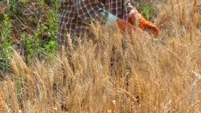 Cebada de la cosecha de los granjeros por una hoz almacen de metraje de vídeo