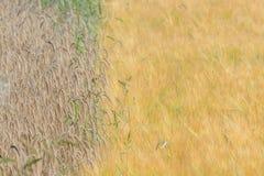 Cebadas y campo de los granos Imagen de archivo