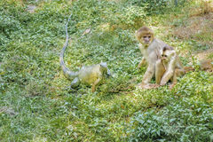 Cebidae Monkeys and Lizard at Zoo Royalty Free Stock Photography