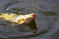 Cebo de cogida de la carpa en el cierre del agua para arriba Foto de archivo libre de regalías