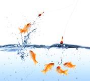 Cebo del pez de colores fotografía de archivo libre de regalías