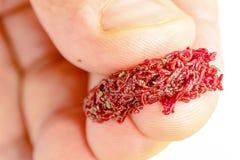 Cebo o comida de pesca para la polilla de la larva de los pescados del acuario fotografía de archivo libre de regalías