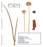 Cebola agrícola da planta isolada Imagem de Stock Royalty Free