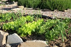 Cebola, alface e rabanete novos no cultivo intercropping do vegetal Fotos de Stock