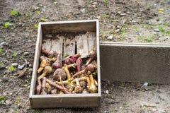 Cebola, cebolas vermelhas e beterrabas Imagens de Stock