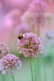 Cebola de florescência fotografia de stock
