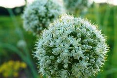 Cebola de florescência Imagem de Stock Royalty Free
