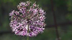 Cebola decorativa Allium Inflorescência Um milagre das bolas As inflorescência roxas vídeos de arquivo