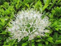 Cebola decorativa branca fresca Imagem de Stock