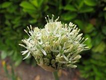 Cebola decorativa de florescência fresca branca Imagens de Stock Royalty Free