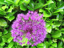 Cebola decorativa roxa Fotos de Stock