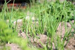 Cebola no jardim home ecológico Fotos de Stock Royalty Free