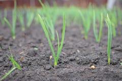 Cebola nova verde da terra na mola no jardim fotos de stock