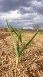 Cebola que cresce do solo seco imagem de stock royalty free