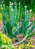 Cebola que floresce na atribuição Foto de Stock Royalty Free