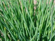 A cebola selvagem cresceu na primavera no jardim foto de stock royalty free
