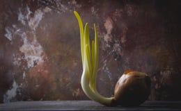 Cebola Sprouted Fotografia de Stock Royalty Free