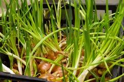Cebola Sprouted Foto de Stock