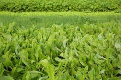 A cebola verde do aipo, da alface e da mola colhe Imagens de Stock Royalty Free