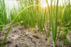 Cebola verde nova no jardim, vista de baixo de Close-up imagens de stock royalty free