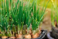Cebola verde que cresce no glarden Fotografia de Stock