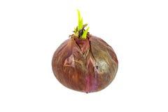 Cebola vermelha com sprout verde Imagens de Stock Royalty Free
