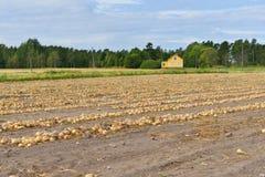 cebolas Colheita no fim do verão Fotografia de Stock