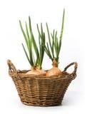 Cebolas da mola da arte que crescem na cesta Imagem de Stock Royalty Free