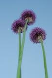 Cebolas decorativas - Allium Imagens de Stock Royalty Free