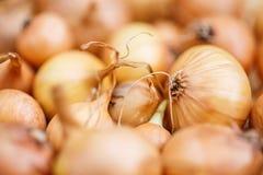 Cebolas frescas Fundo das cebolas Cebolas maduras Cebolas no mercado Fotos de Stock Royalty Free