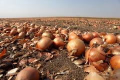 Cebolas no fim do campo da cebola acima Fotografia de Stock Royalty Free