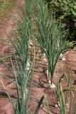 Cebolas orgânica crescidas Fotos de Stock Royalty Free