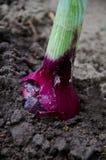 Cebolas orgânicas Fotos de Stock