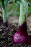 Cebolas orgânicas Imagens de Stock Royalty Free