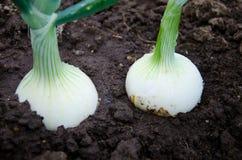 Cebolas orgânicas no jardim vegetal fotos de stock royalty free