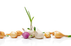 Cebolas para plantar. Fotos de Stock