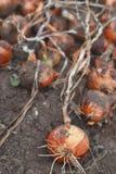 Cebolas recentemente colhidas foto de stock royalty free