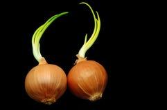 Cebolas Sprouted Imagem de Stock Royalty Free