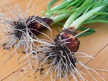 Cebolas verdes com raizes Foto de Stock