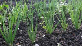 Cebolas verdes durante o amadurecimento no jardim da exploração agrícola video estoque