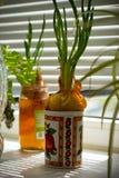 Cebolas verdes em uma bacia na soleira Fotos de Stock